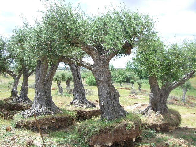 Field Olive Trees
